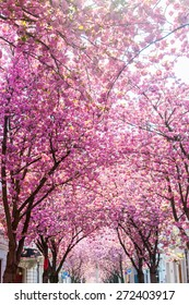 pink flowering cherry trees in the old town of Bonn, Germany