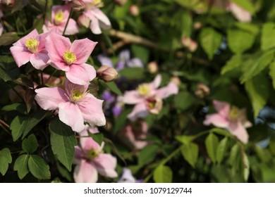 Climbing clematis images stock photos vectors shutterstock pink flowering clematis mightylinksfo