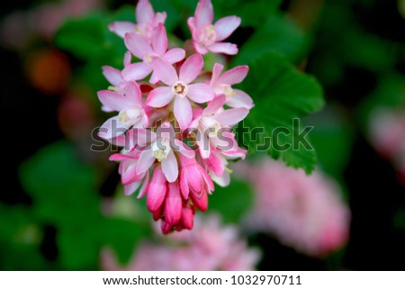 Pink flowering currant ribes sanguineum stock photo edit now pink flowering currant ribes sanguineum mightylinksfo