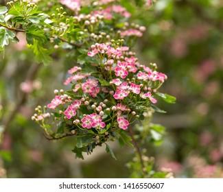 Pink flowering English Midland Hawthorn, Crataegus oxyacantha, laevigata blossom. Medical plant bush.
