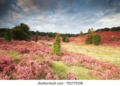 pink flowering hills with heather, Luneburger heide