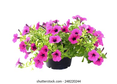 Pink flowering petunia in pot on white background.