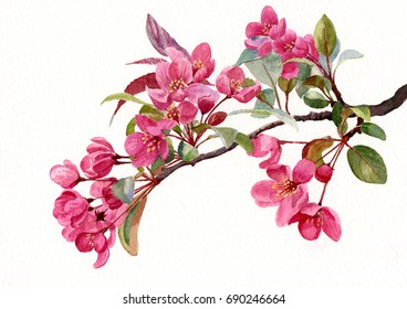 Pink Flowering Tree Blossoms. Watercolor painting, illustration, of pink flowering plum flowers on a branch in the spring.