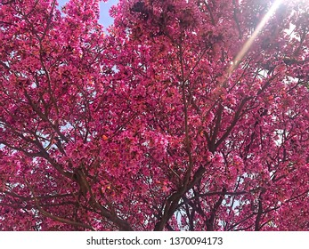Pink Flowering  tree branches