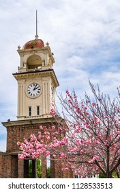 Pink Flowering Tree with Clock Tower in downtown Santa Cruz , California on a nice Sunny afternoon along the Pacific West Coast