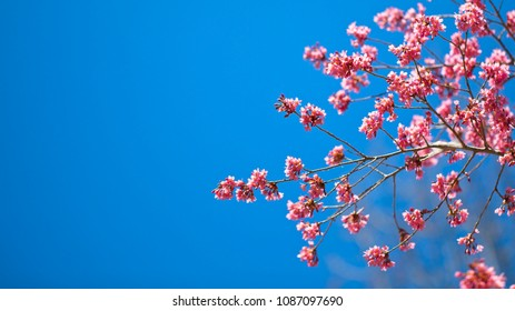Pink Flowering Tree in full bloom against a bright blue clear sky with no clouds and room for text