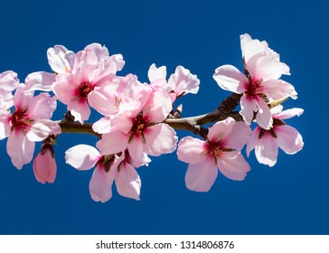 Pink flowers of almond on the background of a beautiful blue sky, outdoors. Almond Plantations in Spain