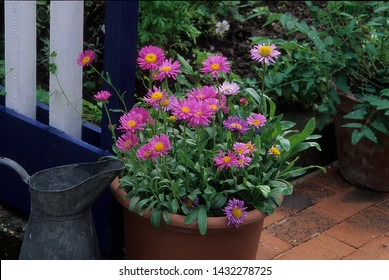 Pink Flowers of Alpine aster in a pot