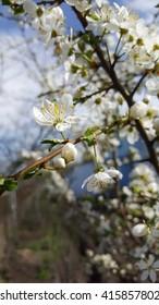 Pink flowers apricot or sakura tree branch in bloom