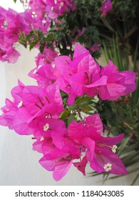 Pink flowers around Pyros, Santorini in the summer