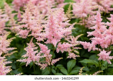 Pink flowers of astilbe japonic. Blossom of astilbe japonic in natural background.