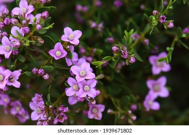 Pink flowers of the Australian native Boronia crenulata, family Rutaceae. Known as the Aniseed Boronia. Endemic to south west of Western Australia
