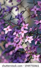 Pink flowers of Australian native Boronia ledifolia, family Rutaceae. Growing in Sydney woodland, NSW, Australia. Also known as the Showy, Sydney or Ledum Boronia