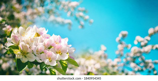 Pink flowers of blooming Apple tree in spring against blue sky on a Sunny day close-up macro in nature outdoors. - Shutterstock ID 1840954345