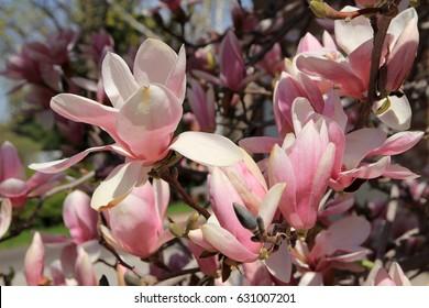 Pink flowers of blooming magnolia tree
