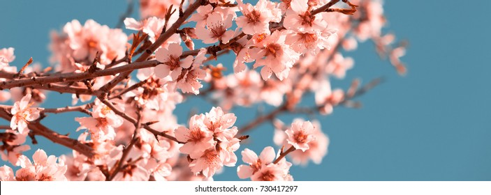 Pink Flowers Blooming Peach Tree at Spring. Bright Blue Sky as Background. Filtered Long wide banner