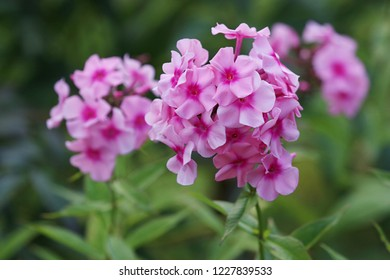 Pink flowers. Blooming flowers. Pink phlox on a green grass. Garden with phlox. Garden flowers. Nature flowers in garden. Blooming phlox.
