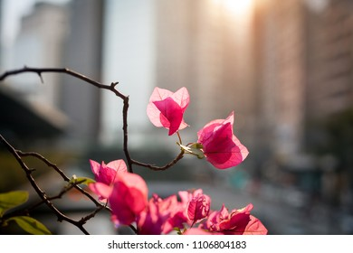 Pink flowers blossom on a blurred city background