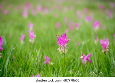 Pink flowers blossom on a colorful background in the field during the rainy season. The mood of the image is refreshing from the green of nature.this image is blur focus and select focus .