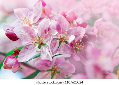 Pink flowers blossom on tree. Nature beautiful floral pastel  background