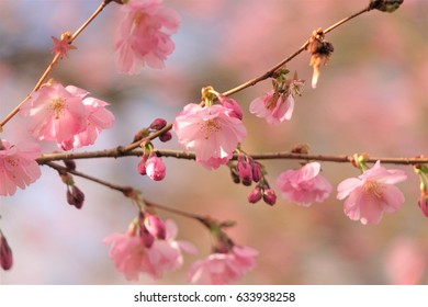 pink flowers, blossom, of a tree in spring