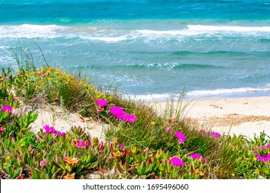 Pink flowers and blue sea in Platamona beach. Sardinia, Italy