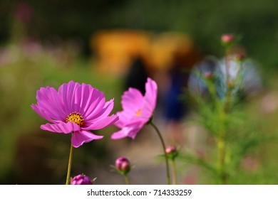 Pink Flowers with Blurred Green Background. Photo taken in South Korea.