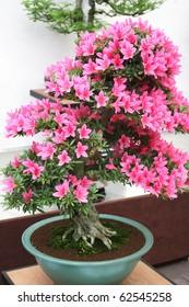 Pink flowers bonsai tree