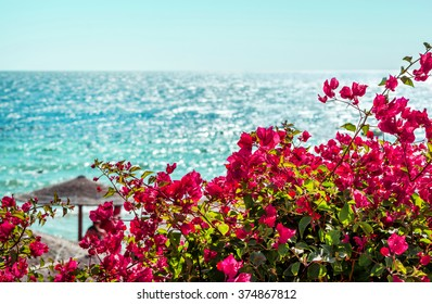 pink flowers bougainvillea on a background of blue sea