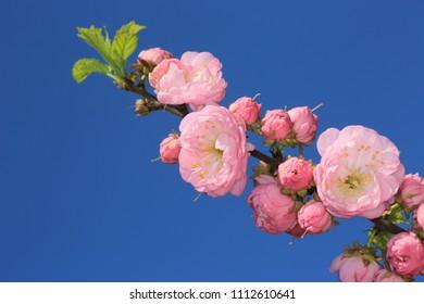 pink flowers brunch on blue sky background