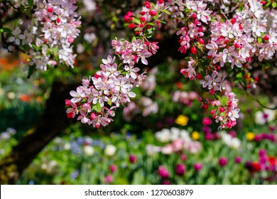 Pink flowers and bud of Wild Apple tree. Spring background with Apple tree blossom. Malus floribunda, common name Japanese flowering crabapple, Japanese crab, purple chokeberry, or showy crabapple
