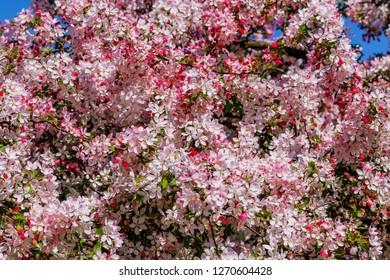 Pink flowers and bud of Wild Apple tree. Spring background with Apple tree blossom. Malus floribunda, common name Japanese flowering crabapple, Japanese crab, purple chokeberry, or showy crabapple