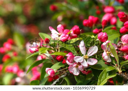 Pink flowers bud wild apple tree stock photo edit now 1036990729 pink flowers and bud of wild apple tree spring background with apple tree blossom mightylinksfo