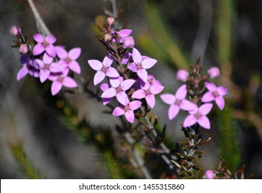 Pink flowers and buds of Australian native Boronia ledifolia, growing in heath on the Little Marley fire trail, Royal National Park, Sydney, Australia. Also known as the Showy, Sydney or Ledum Boronia