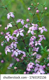 Pink flowers and buds of Australian native Boronia ledifolia, family Rutaceae. Growing in the Royal National Park, Sydney, Australia. Also known as the Showy, Sydney or Ledum Boronia