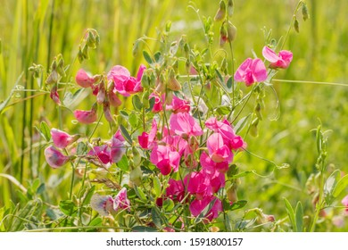 Pink flowers and buds of wild sweet peas on a blurred green background.