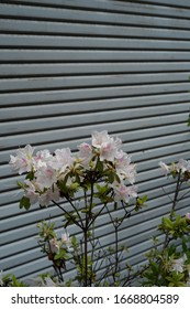 pink flowers by the gray shutter