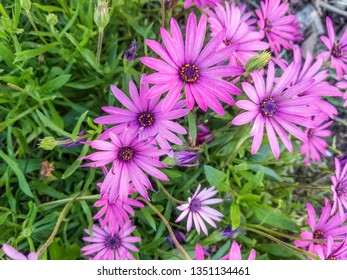 Pink flowers of cape marguerite, sundays river or white daisy bush, Dimorphotheca (Osteospermum) ecklonis growing in Galicia, Spain