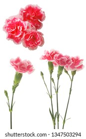 pink flowers of carnation on a white background