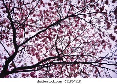 Pink flowers, cherry blossom Thailand.