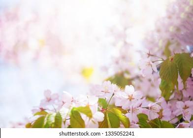 Pink flowers Cherry blossoms in Sakura spring season