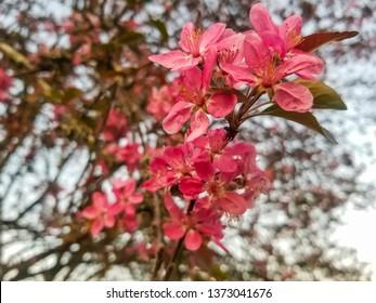 Pink flowers of cherry or myrobalan plum, Prunus cerasifera, in a urban park