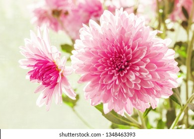 Pink flowers of chrysanthemum on a light background