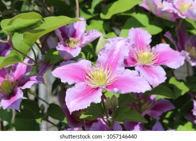 Climbing clematis images stock photos vectors shutterstock pink flowers of climbing clematis on a sunny day mightylinksfo