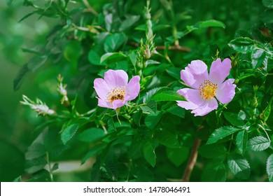 Pink Flowers of Climbing Rose - Rosa Multiflora