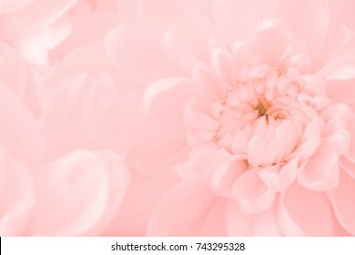 Pink flowers background images stock photos vectors shutterstock pink flowers close up petal of pink chrysanthemum flowers or pink flowers image use for mightylinksfo