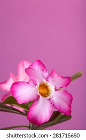 Pink Flowers with pink color for background