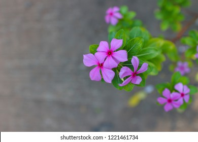 Pink flowers with concrete background,Madagascar Periwinkle,rose periwinkle, or rosy periwinkle
