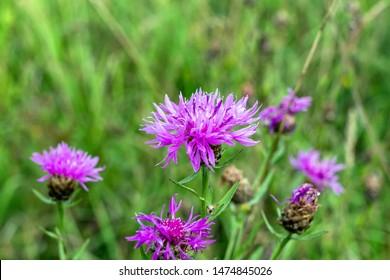 Pink flowers cornflower scabiosa (Centaurea scabiosa) on a blurred green grass background on a forest lawn