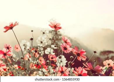 Pink flowers cosmos blooming  in summer .